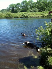 Hank and River swimming in the Charles River.