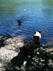 Hank watches Serafina fetch.