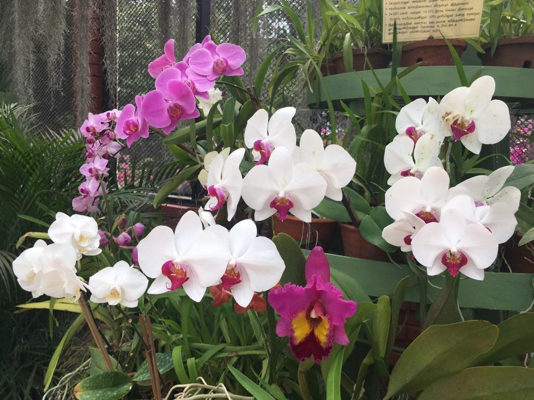 Pink, white and purple orchids at Royal Botanical Gardens in Peradeniya Sri Lanka