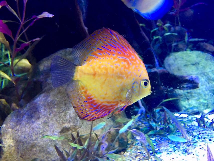 Pink, blue and yellow fish in Dubai Aquarium