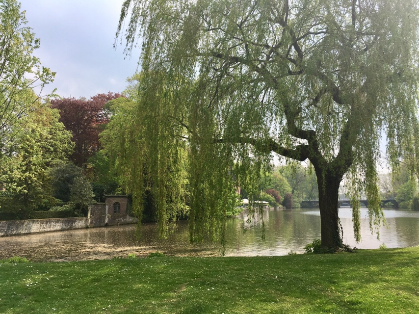 Willow tree over a canal in Bruges