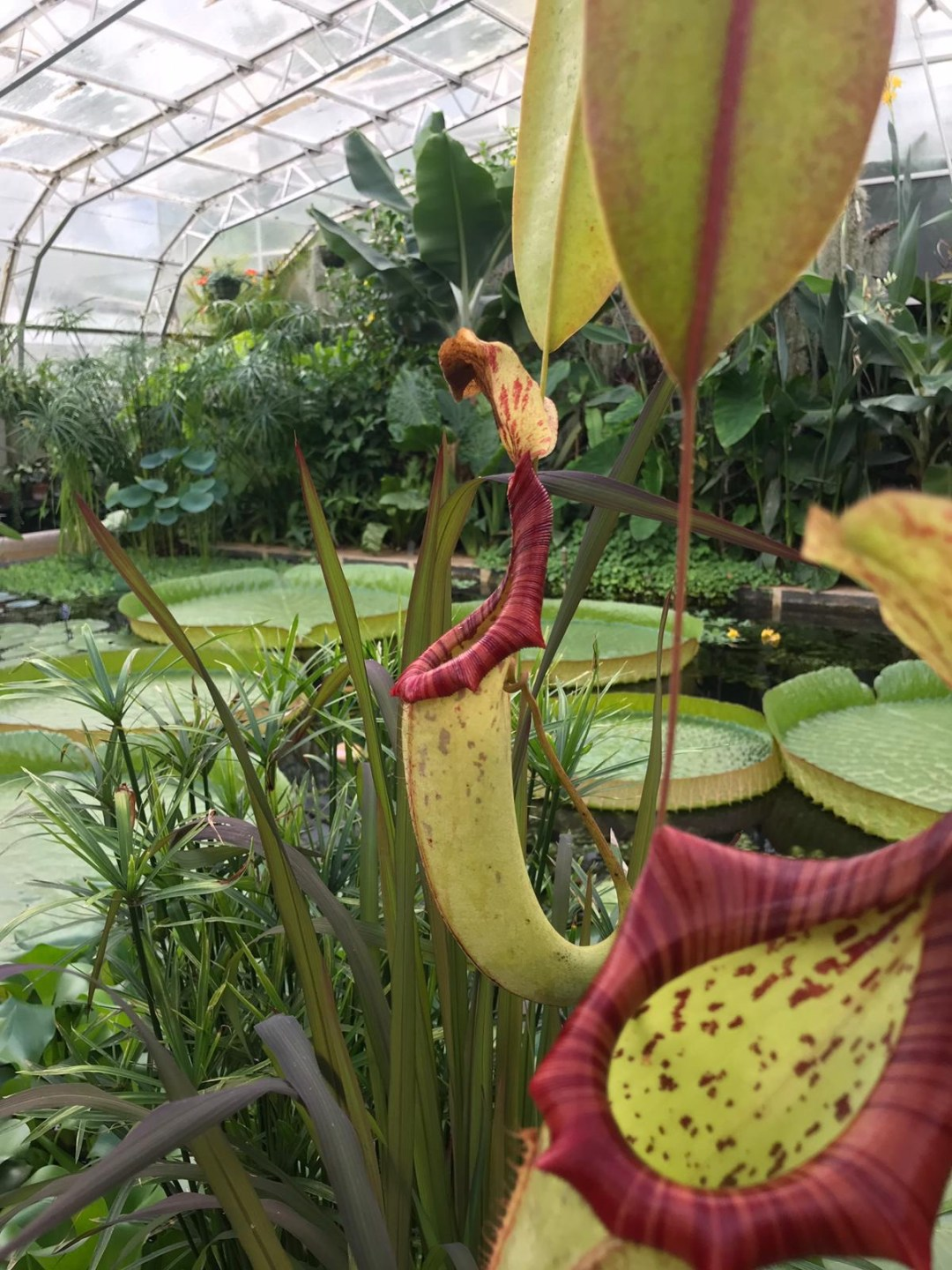 Green and red pitcher plants and giant water lily pads in greenhouse