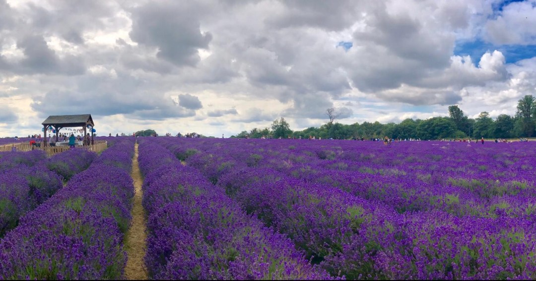 lavender fields at Mayfield Lavender Farm bear London