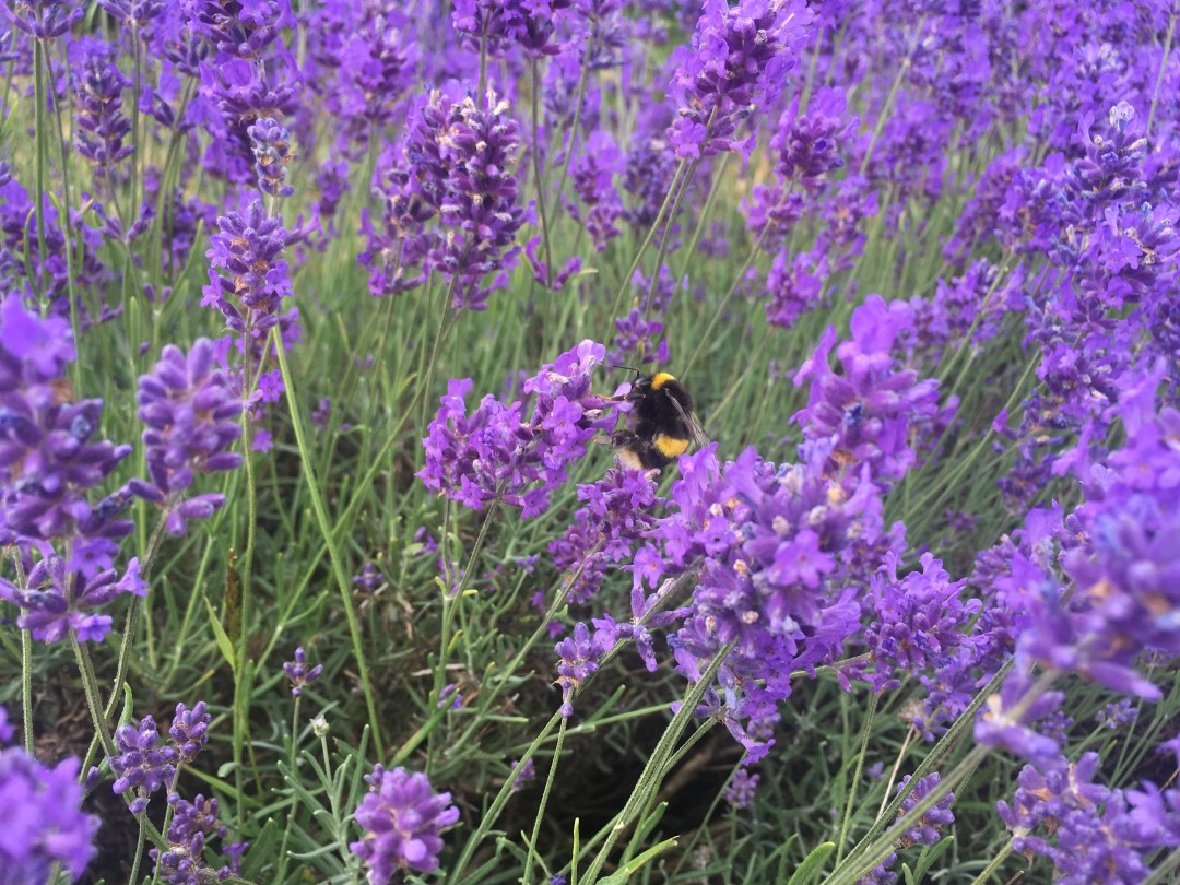 Bumblebee on English lavender