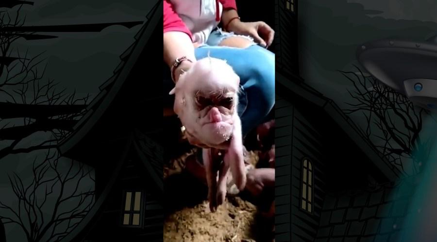 human-pig hybrid