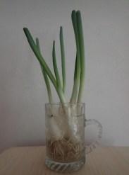 spring onioins