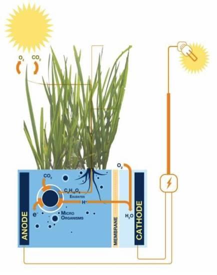 Gras_Plant-MFC