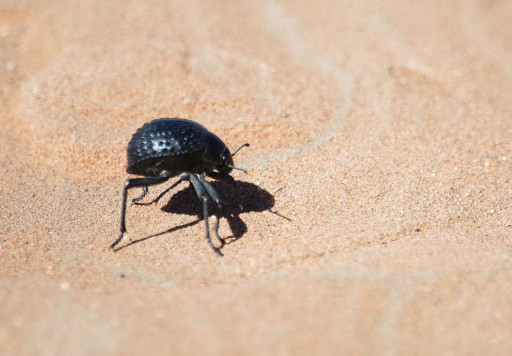 Stenocara beetle