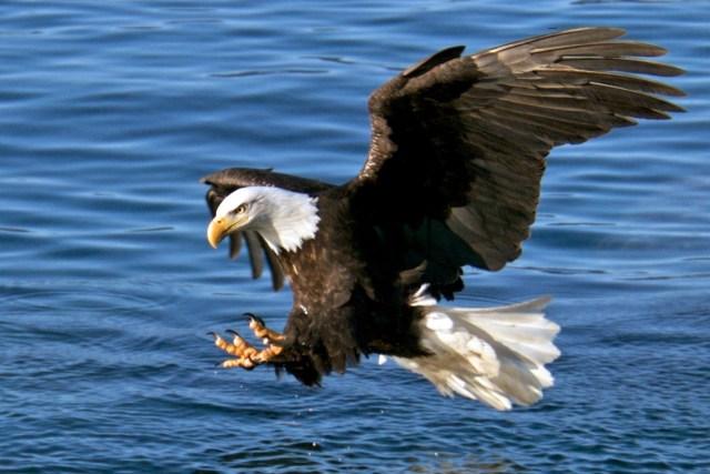 Royal Caribbean Alaska Bald eagle