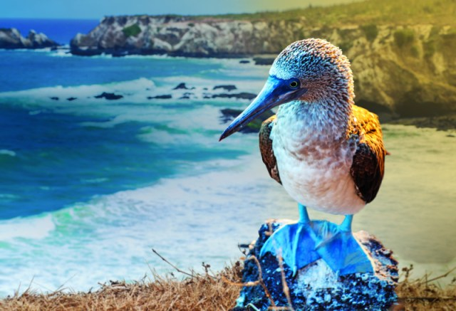 Celebrity Cruises Galapagos blue footed beauty