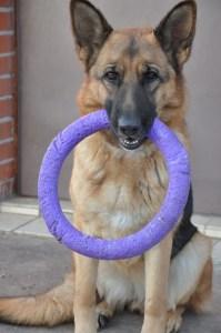 German shepherd with purple ring