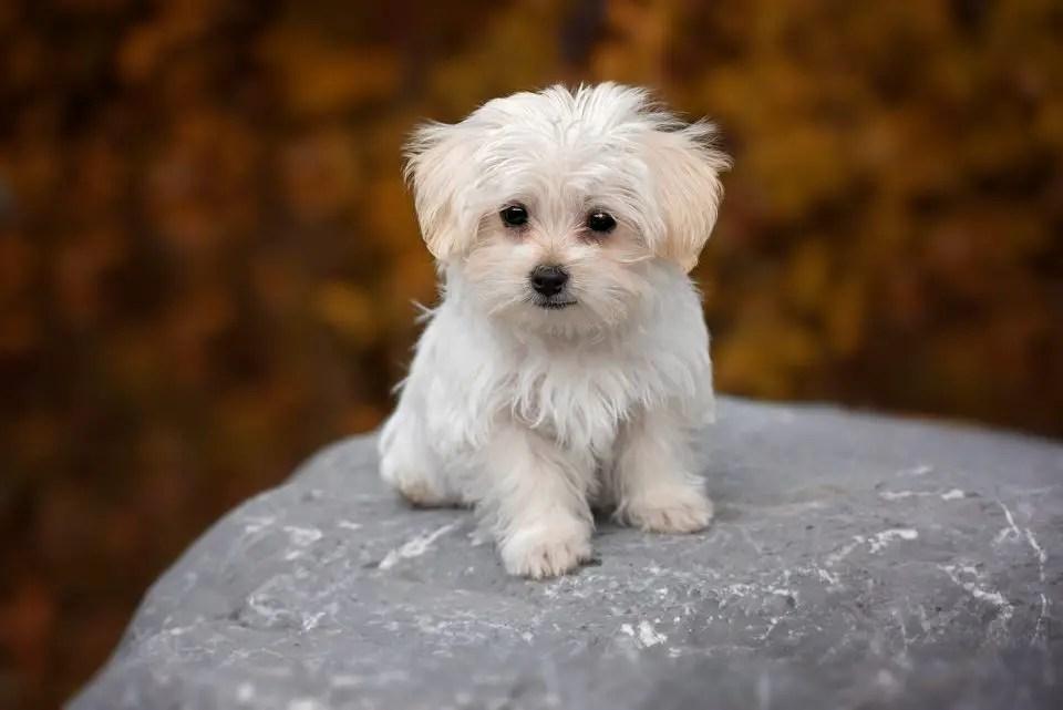 Maltese Vs Shih Tzu A Detailed Comparison Of Both Dog Breeds