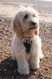 Cockapoo dog on a beach