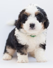 Cute bernedoodle puppy
