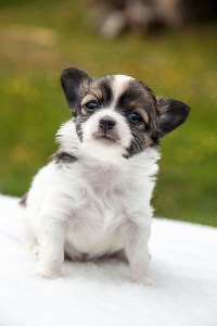 Small white, black and brown dog