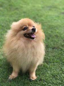 A hairy Pomeranian