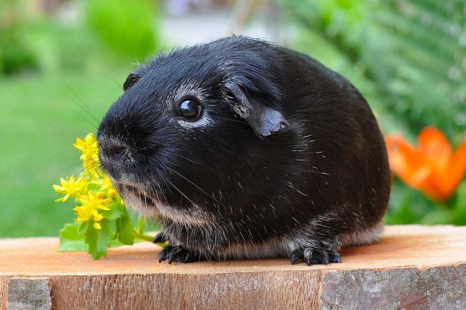 How to Keep a Guinea Pig Cage from Smelling - Keeping Away Odors!