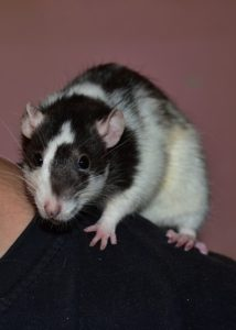 A small rodent