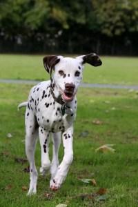 A Dalmatian