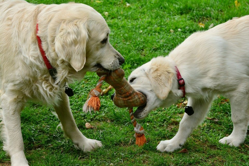 Dogs with a toy
