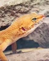 A Leopard Gecko