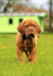 A mastiff