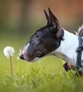 A bull terrier