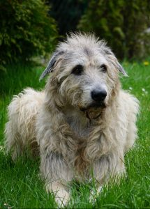A Irish Wolfhound