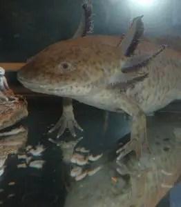 A axolotl