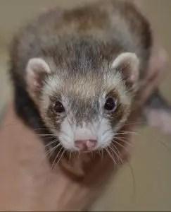 A ferret