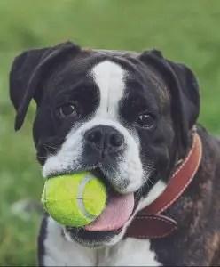 A boxer dog