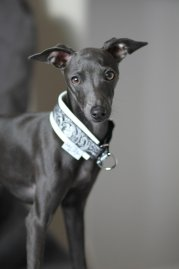 A Italian greyhound on do Italian Greyhounds shed