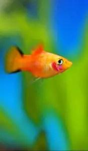 A platy fish
