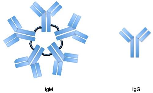 igg-vs-igm
