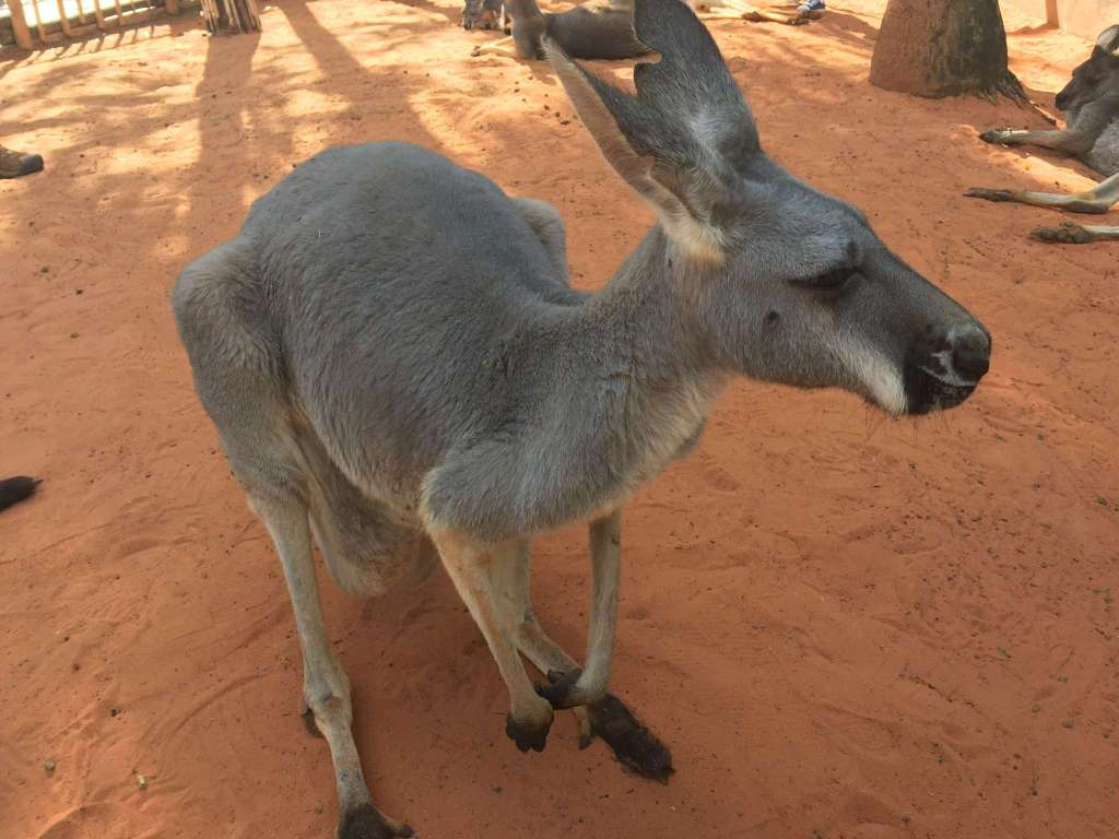 Australian Walkabout Gets You Close To The Kangaroos At Busch ...