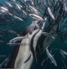 sardine run 2017