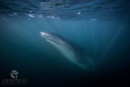 Brydes whale sardine run 2017