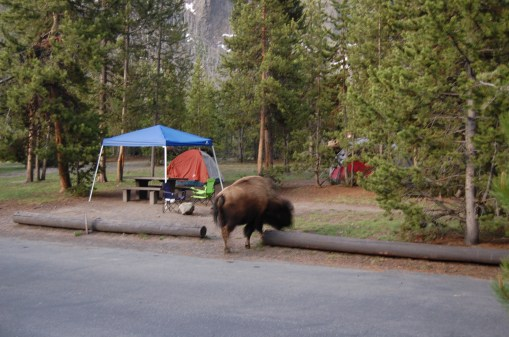 Bison roaming a Madison campsite