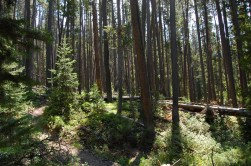 Tall Lodgepole growth