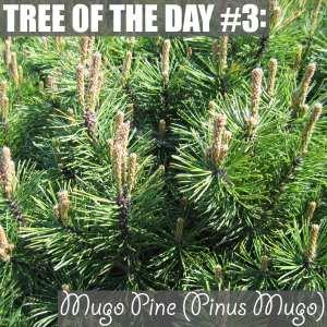 Mugo Pine (Pinus Mugo)
