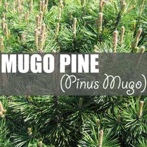 Mugo Pine Facts | Ah, majestic Pinus mugo! Also known as mountain pine, dwarf mountain pine, scrub mountain pine, Swiss mountain pine, creeping pine and mugo pine.