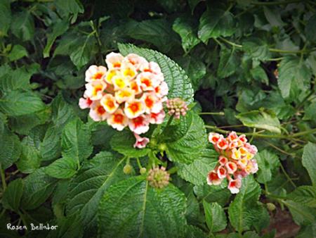 flores - ostara