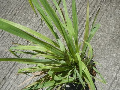Mosquitoes hate the smell of citronella, so plant a few around your home.