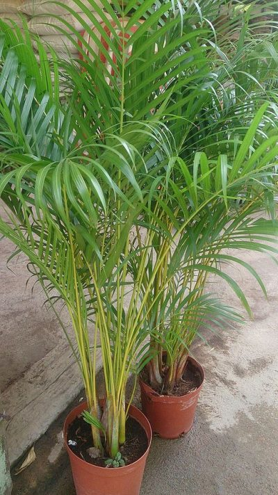 palm plant help to induce sleep e1512939706774 - 7 Incredible House Plants That Will Help You Get The Best Sleep Ever