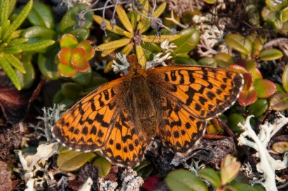 A mountain fritillary poses on a patch of cranberry (Vaccinium vitis idaea) and Ledum (Rhododendron subarcticum).