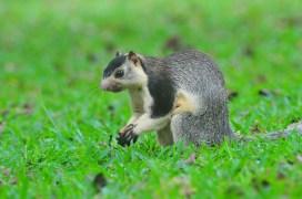 Grizzled giant squirrel (Heshan de Mel)