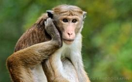 Toque macaque (Norbert Righetto)