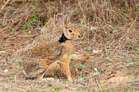 Black-naped hare (Walk The Wilderness)