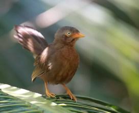 Orange-billed babbler (W. Narampanawa)