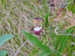 Ram's Head Lady Slipper, By - Mark Gawn